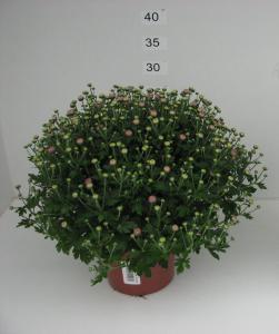 Rose P15